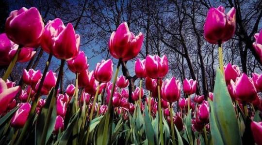 Стамбул готов к XII Международному фестивалю тюльпанов